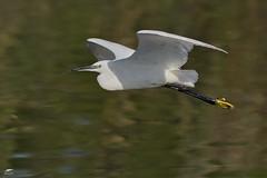 Little Egret - Garça-branca-pequena (anpena) Tags: birds birdphotography birdsinflight egrets littleegret
