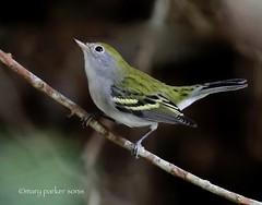 Chestnut-sided Warbler (Mary Sonis) Tags: chestnutsided warbler bird nature wildlife carolina migration piedmont