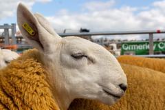 Hartington Show (MrBigglesworth) Tags: derbyshire sheep hartingtonshow fair villageshow hartington buxton england unitedkingdom