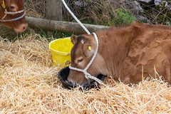Hartington Show (MrBigglesworth) Tags: cattle derbyshire cows hartingtonshow fair villageshow hartington buxton england unitedkingdom