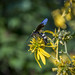 Wasp Pollinating Sunflower