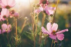 Soft September Light (freyavev) Tags: flowers flowerpower meadow 35mm mikasniftyfifty renningen malmsheim badenwürttemberg germany deutschland vsco canon canon700d nature sunlight closeup