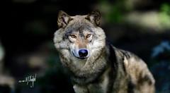 Wolf (hansjrgenknppel) Tags: wolf wildtier natur umwelt raubtier nikon d 850 nikkor 200mm f2 hans juergen knueppel germany deutschland