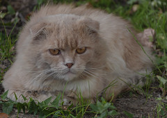 Red Cat (Lyutik966) Tags: pet animal cat muzzle grass outside nose eyes ears alittlebeauty coth5