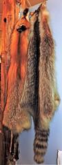 Fox, raccoon pelts (Will S.) Tags: fox raccoon furs pelts ontario canada fur williamstown mypics glengarrynorwestersloyalistmuseum unitedempireloyalists