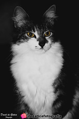 beautiful look (david_de_gatica) Tags: cat lowkey look clavebaja gato hermosamirada mirada pelaje felino feline
