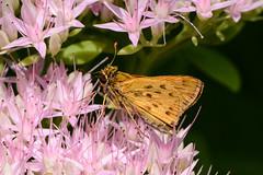 fiery on sedum (BobRobin) Tags: berwyn illinois butterfly fieryskipper insect skipper