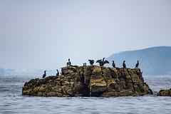 Shaking a tail feather (davee10101) Tags: 2019 bird cormorant greatcormorant phalacrocoraxcarbo sark gg