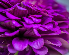 Petalacious (risaclics) Tags: crazy tuesdays 60mmmacro nikond610d september2019 abstract flora flowers magenta petals purple zinnia crazytuesdays