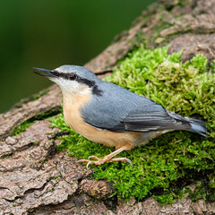 Nuthatch at Yarrow Valley Park (Richard J Hunt) Tags: nuthatch