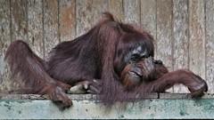 Scratch! (rlt64) Tags: orangutan primates borneo endangered
