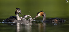 Great Crested Grebe & Chicks (Mick Erwin) Tags: afs 600mm f4e fl ed vr lens tc14e teleconverter iii d850 mick erwin stoke trent staffordshire wildlife nature chick humbug westport lake