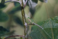Rainette arboricole (morgane_destouesse) Tags: frog grenouille rainette nature
