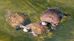 Schildkröten DiSa Jeep Tour (Sanseira) Tags: griechenland greece lesvos lesbos schildkröten fluss skala kalloni disa jeep tour turtle