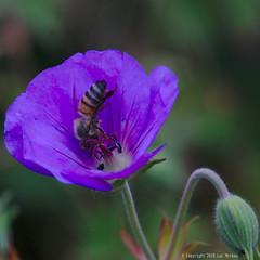 Making Honey (Spotmatix) Tags: 55210mm animals bees belgium brabantwallon camera closeup effects flowers garden home insects landscape lens nature nex6 places sony villerslaville zoomtele