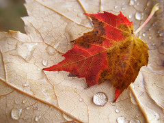 After an Autumn Shower (kfocean01) Tags: raindrops drops fall autumn outside abstract leaves nature red color water macro macrounlimited