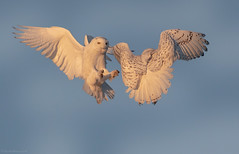 Fight and Flight (NicoleW0000) Tags: snowyowl owls arctic owl snowies birdofprey bird raptor inflight flight flying wild wildlife nature naturephotography wildlifephotography ontario canada
