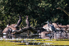 Ritualised preening in a crowded pond scene. (christina.marsh25) Tags: heron cormorant canadageese pond feathers preening ritual flickrfriday langfordlakesnaturereserve