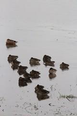 Img_6775 (steven.heywood) Tags: teal shoveler duck