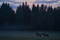 Pferde im Nebel II (-Jan-) Tags: schweden sweden sony alpha a7iii a7m3 85mm 85mm18 85mmf18