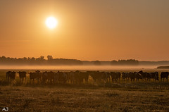 Cows in the morning