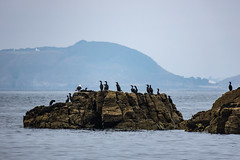 Eyes left! (davee10101) Tags: 2019 bird cormorant greatcormorant phalacrocoraxcarbo sark gg