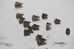 Img_6774 (steven.heywood) Tags: teal shoveler duck