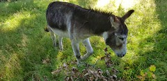 Day 250 (Iain Purdie) Tags: 2019 happy donkey animal countryside aberfoyle