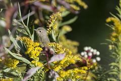 (The Transit Photographer) Tags: rideautrail trailhead marshlandsconservationarea birds fallmigration warblers nashvillewarbler