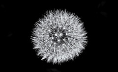 What's the time Mr Fairy? (David Feuerhelm) Tags: mono monochrome bw blackandwhite noiretblanc schwarzundweiss blancoynegro contrast minimalist minimal closeup macro seed dandelion detail nikkor 105mmf28micro nikon d750 nature