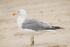 Larus michahellis (ZéMarks) Tags: bm148 ringeuropelarusmichahellis larusmichahellis yellowleggedgull goélandleucophée gaviotapatiamarilla gaivotadepatasamarelas gulls