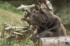 A sighting 2019 (TheArtOfPhotographyByLouisRuth) Tags: bear brownbear animal predator forest fur big hugeanimal woodlandparkzoo prophoto portrait image bears closeup nikond810 nikkor200to500mm bokeh