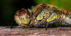 Common Darter-1 (ianrobertcole1971) Tags: odonata dragonfly common darter macro micro nikon d7200 invertebrate insect 105mm
