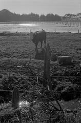 14 (mati.a) Tags: wetland humedal vaca cow landscape chile 35mm film analog bw nikon fm2 nikonfm2 ilford hp5 ilfordhp5plus