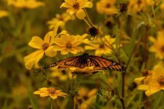 Coreopsis 09.089.2019.05 (nwalthall) Tags: coreopsis