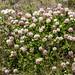 Wild clover flowers,  Lake Louise, Banff National Park, Alberta