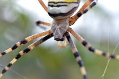 Le temps n'existe pas - Time does not exist (EmArt baudry) Tags: epeirefascié araignée spider macro nikon nature nikonmacrolens insecte toile web focus closeup detail emart emmanuellebaudry