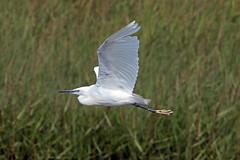 little egret (DODO 1959) Tags: wildlife littleegret animal avian fauna birds reeds flight nature outdoor heron canon 7dmk2 100400mmmk2 wales carmarthenshire kidwellyquay