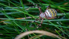 IMG_7463 (Henryk D) Tags: germany insekten makro natur spinne wespenspinne wiese spider waspspider