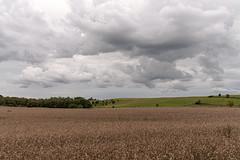 (walk in the country) Tags: strøbjerge hills mark ås skyer clouds cloudscape walk hike sunday denmark darkclouds autumn september danmark cows køer