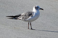Laughing Gull (smkeereweer) Tags: laughinggull leucophaeusatricilla novascotia canada