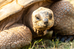 zooatlanta08Sep20190068.jpg (fredstrobel) Tags: zooatlanta tortoise atlanta wildanimals animals usa reptile places ga georgia unitedstatesofamerica
