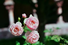 Roses at the Cloisters (_mjsantiago) Tags: nikon nikonem fujifilmsuperia 35mmfilm nature flowers themet thecloisters analogphotography