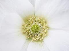 The White Anemone (Steve Taylor (Photography)) Tags: anemone white flower minimalism minimalistic yellow nz newzealand southisland canterbury christchurch