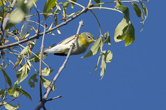 (The Transit Photographer) Tags: rideautrail trailhead marshlandsconservationarea birds fallmigration warblers northernparula