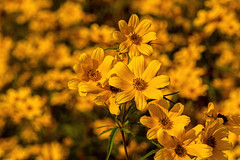 Coreopsis 09.09.2019.01 (nwalthall) Tags: coreopsis