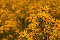 Coreopsis 09.089.2019.02 (nwalthall) Tags: coreopsis