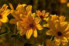 Coreopsis 09.089.2019.03 (nwalthall) Tags: coreopsis