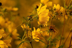Coreopsis 09.089.2019.04 (nwalthall) Tags: coreopsis