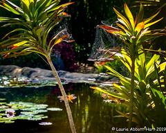 20190909SD Botanic Garden32173-Edit (Laurie2123) Tags: fujixt2 fujinon1855mm laurieabbottturner laurieabbotthartphotography laurietakespics laurie2123 sandiegobotanicgardens dragonfly